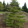 Abies Koreana 2 (Medium)