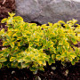 Euonymus fortunei Emerald 'n Gold  2
