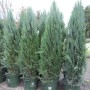 Juniperus Blue Arrow 2